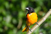Baltimore Oriole male 3 July 13 2018