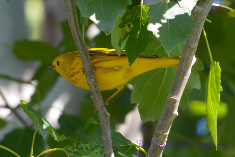 Yellow warbler in my backyard 2