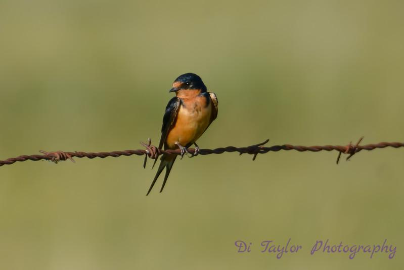 Barn Swallow 3 Aug 25 2017