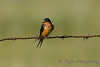 Barn Swallow 3 Aug 25 2017