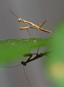 IMG#2472 Over-N-Under Two Immature Praying Mantis 2011