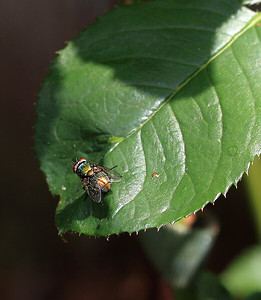 IMG#3212  Common Housefly-outside 2011