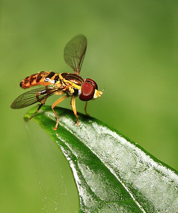 IMG#3444 Hover Fly with Bum-Leg...too bad. 2011