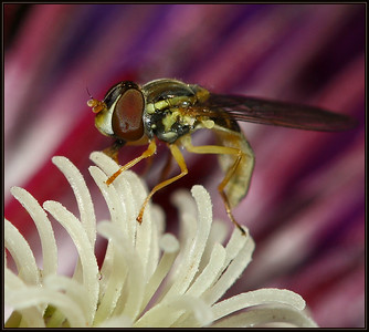IMG#2868 Hover Fly