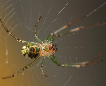 IMG#2677  Just another hideous Garden Spider-Monster 2011