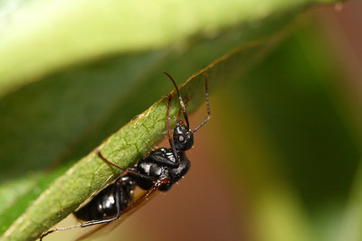 IMG#556 5 Common Ant