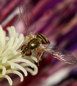 """IMG#2869  """"Stained Glass"""" Wings Common-ordinary Hover Fly"""