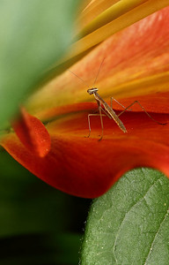 IMG#2438 Tiny, immature Praying Mantis 2011