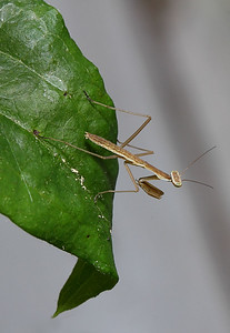 IMG#2457 Immature Praying Mantis, approx 1/4 inch long 2011