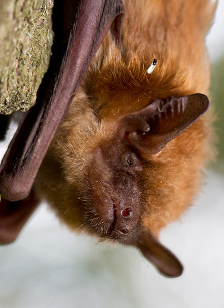 """IMG#3732 Hitch-hiking can be dangerous... especially if the """"Ride"""" eats your kind...! Good thing this New Jersey Brown Bat was half asleep...!"""