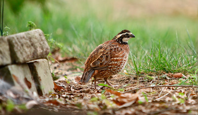 Northern Quail...Male