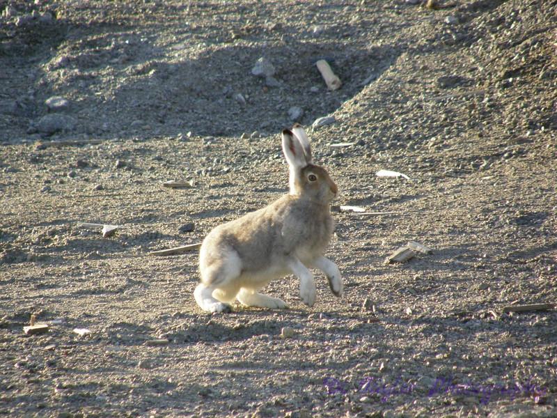 Arctic hare in tundra in summer