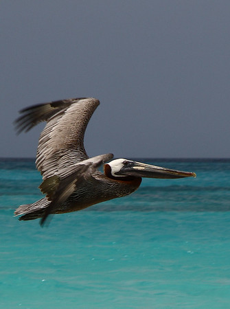 "IMG#1076 Brown Pelican searches for ""lunch"" over the beaches of Casa del Mar, Aruba 2010"