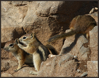 """Pssst...doesn't Her Butt Look Big...!  Colorado Chipmunks (Ground Squirrel)"