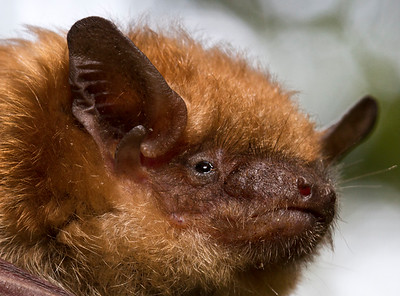 IMG#3828 Bats have very interesting ears... New Jersey Brown Bat