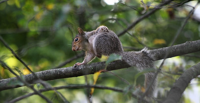 "IMG#1672 ""Mr. Itchy""...New Jersey Grey Squirrel"