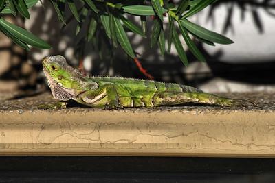 IMG#9190 Small Green Iguana-Aruba 2009