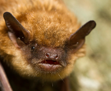 IMG#3729 Brown Bat after being disturbed from a nap