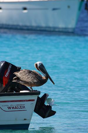 IMG#4231 Hitchiking Pelican...St Thomas, Virgin Islands 2008