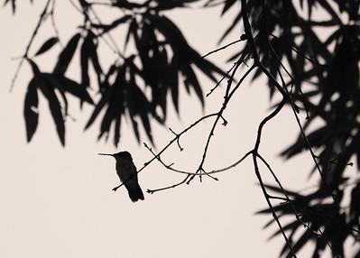 IMG#5104 Hummingbird Silhouette