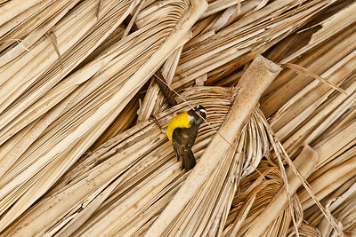 Tiny Warbler-like bird carries straw to build its' nest in the Tiki hut on our beach, Aruba