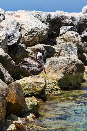 Aruban Brown Pelican
