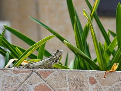 Tiny Island dragon...