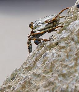 IMG1307 Crab...Aruba-Style! 2011