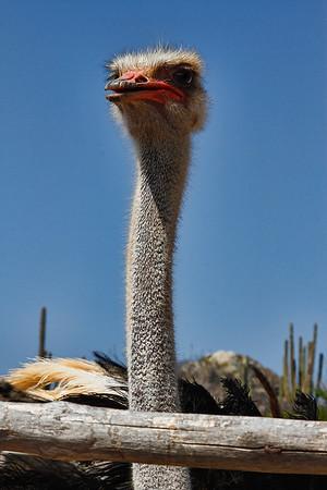 Male Ostrich at the Ostrich Farm, Aruba