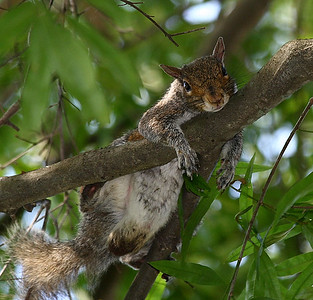 """Just Hangin' Out"" NJ Grey Squirrel"