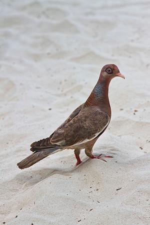 Island Dove