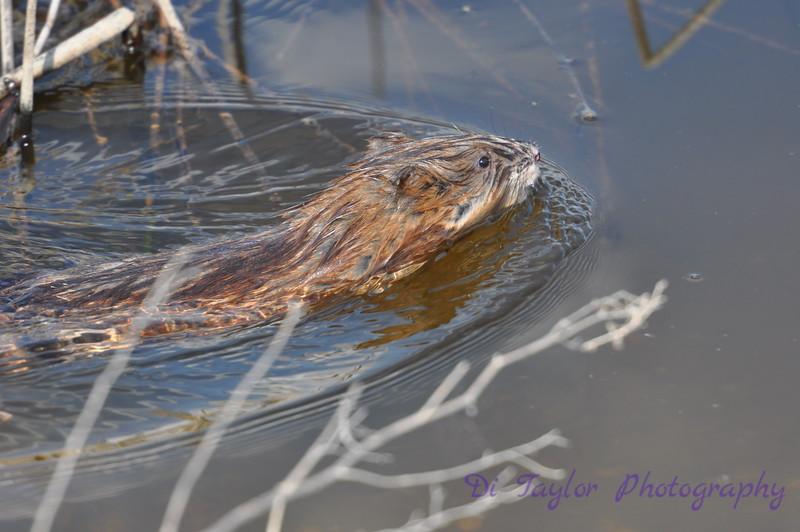 muskrat on Jansen Lake, Saskatchewan