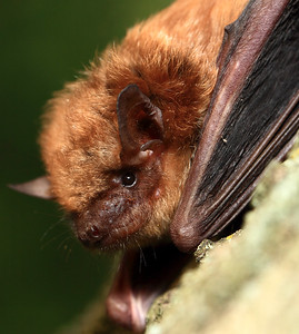 IMG#3761 New Jersey Brown Bat found hanging from a backyard tree.