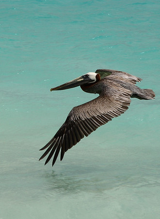"IMG#11074 Brown Pelican searching for ""lunch along the beach of Casa del Mar, Aruba 2010"