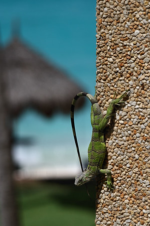 IMG#0940 Small Iguana clings to the side of a building...Aruba 2010