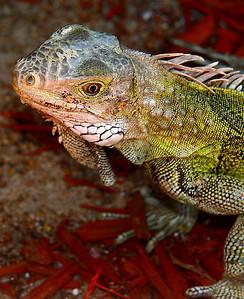 "IMG#0950 Island ""Dragon""...Aruba 2010"