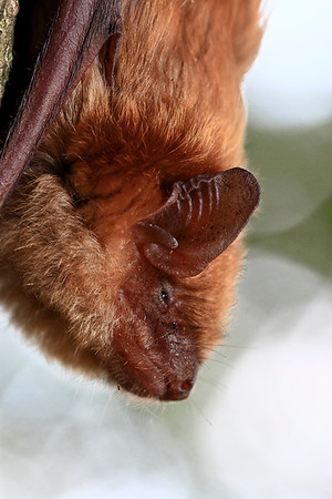 IMG#3735 New Jersey Brown Bat Profile