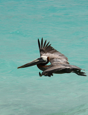 "IMG#1072 Brown Pelican searching for ""lunch"" along the beach of Casa del Mar, Aruba - 2010"