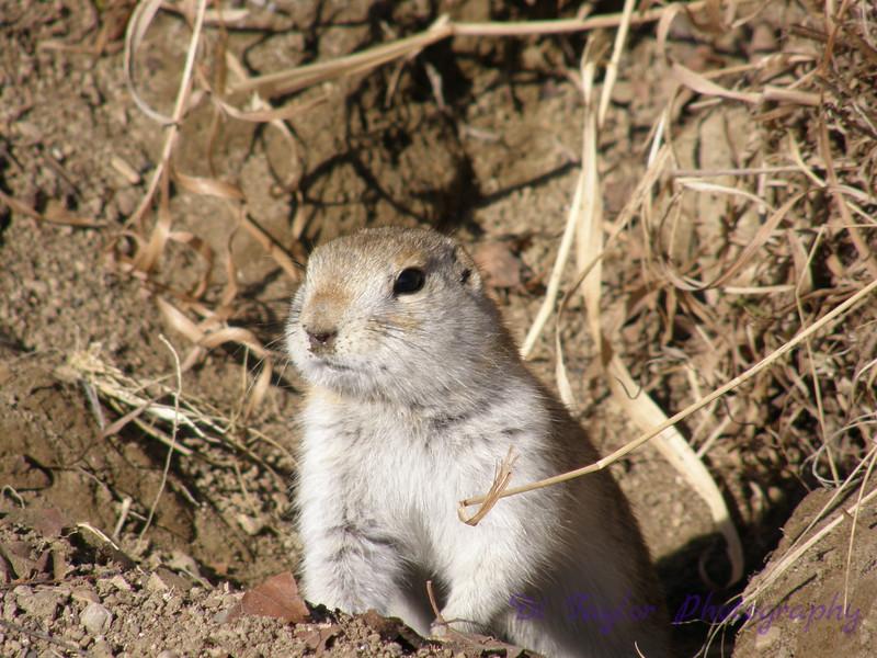 Ground squirrel in spring