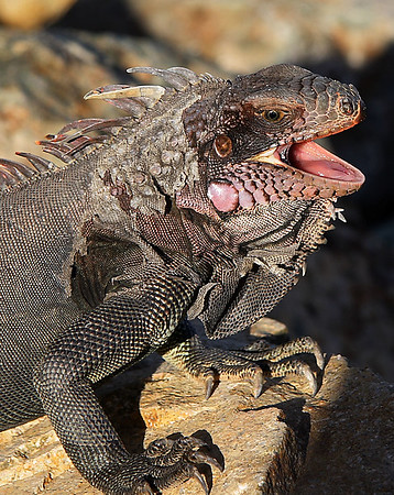 Iguana,  St Thomas, Virgin Islands