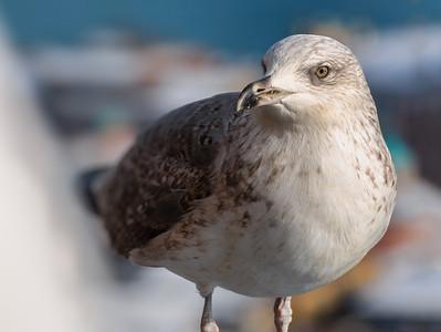 Galata gull
