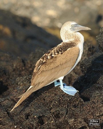 Blue-footed Boobie (Galapagos, 2009)