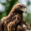 Golden Eagle - Utah