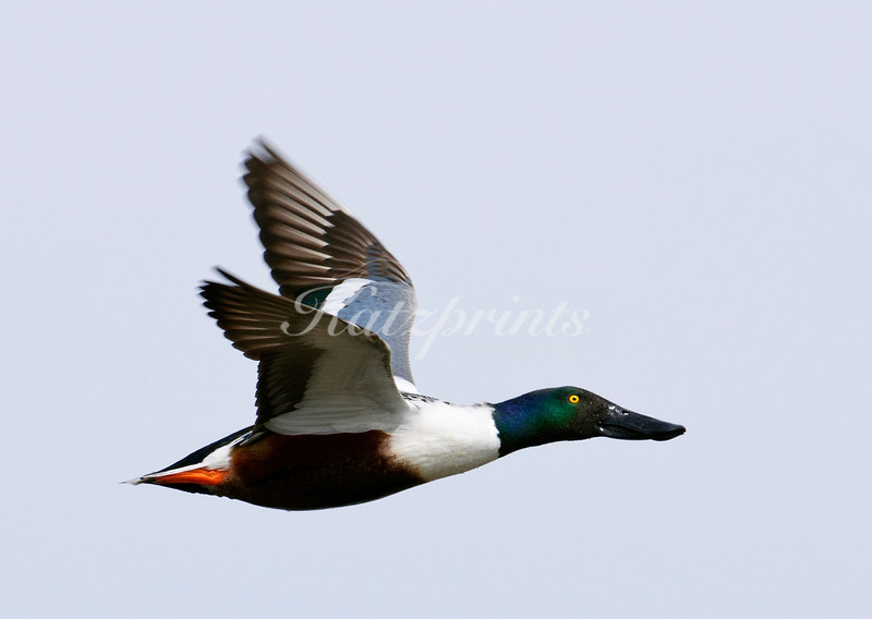 Northern Shoveler in flight