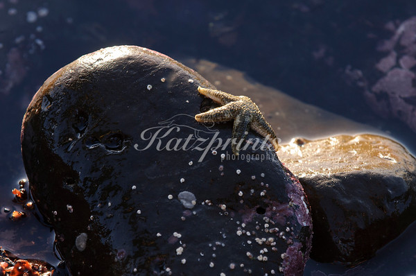 A six-rayed star sits on a tidepool rock near Half Moon Bay