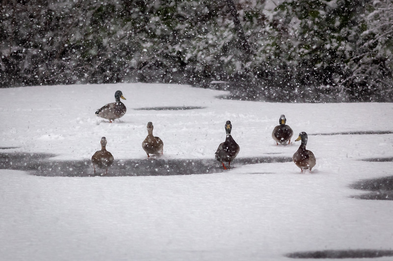 Snowy Duck Walk