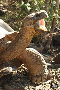 Giant Tortoise, Giant Yawn (Santa Cruz, 2009)