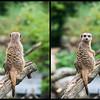 Meerkat #1