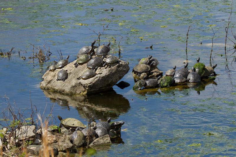 JHP 20170325-4268 33 turtles
