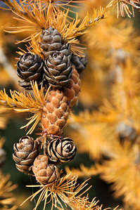 Tamarack Larch Tree in the Fall - Alaska